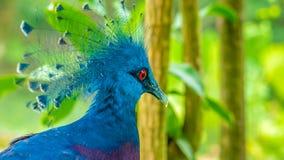 Victoria Crowned Pigeon, pássaro de Goura com grama verde no fundo imagens de stock royalty free