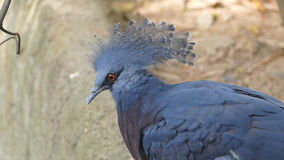 Victoria Crowned Pigeon stock video footage
