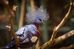 Victoria Crowned Pigeon su un ramo di albero Fotografia Stock