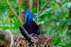 Victoria crowned pigeon, Victoria goura. Royalty Free Stock Images