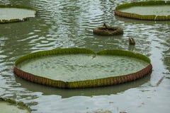 Victoria-cruziana in der Natur ist der größte Lotos stockfoto