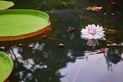 Victoria cruziana Royalty Free Stock Photos
