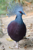 Victoria ha incoronato il piccione Fotografie Stock