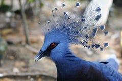 Victoria ha incoronato il piccione (Goura Victoria) Fotografia Stock Libera da Diritti