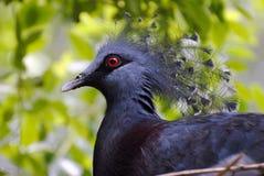 Victoria ha incoronato il piccione (Goura Victoria) Immagini Stock
