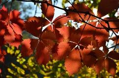 Victoria-klimplantbladeren Stock Afbeeldingen