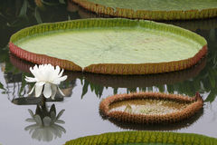 Victoria lotus flower and leaf Royalty Free Stock Image