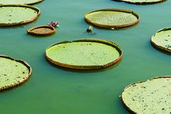 Victoria lotus leaf Stock Photos