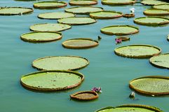 Victoria lotus leaf Stock Images