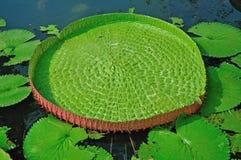 Victoria lotus leaf Stock Images