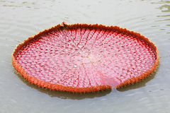 Victoria lotus leaf on water Royalty Free Stock Photos