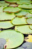 Victoria lotus leaf on water Royalty Free Stock Images