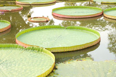 Victoria lotus leaf on water pond Stock Image