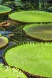 Victoria lotus leaves. On a pond Royalty Free Stock Photography