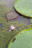 Victoria Lotus med rosa färgblomningen Royaltyfria Bilder