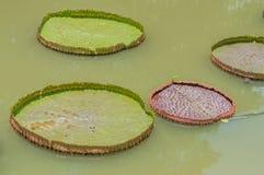 Victoria lotusblommablad Arkivbild