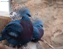 Victoria Pigeon Royalty-vrije Stock Fotografie