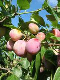 Victoria plums. Ripening in the summer sunshine,jam.tart Stock Photography