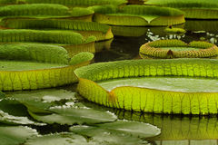Victoria Regia. The world's largest leaves, of Amazonian water lilies royalty free stock images