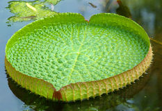 Victoria regia. Clear view of victoria regia leaf stock image