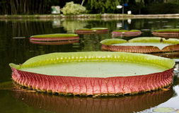 Victoria Regia Royalty Free Stock Photo
