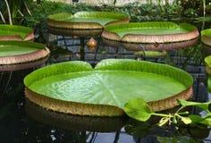 Victoria regia. In Botanical Garden Stock Photography