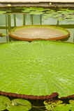 Victoria Regia Amazonica lotus. Royalty Free Stock Photo