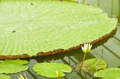 Victoria Regia Amazonica lotus. Royalty Free Stock Image
