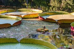 Victoria regia floating over lake waters Royalty Free Stock Images