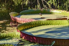 Victoria regia floating over lake waters Royalty Free Stock Photography