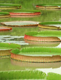 Victoria Regia - the largest water lily in the world Stock Image