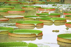 Victoria Regia - the largest water lily Royalty Free Stock Photo