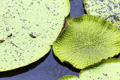 Victoria Regia (the largest water lily in the world) in Amazon, Brazil Stock Photos
