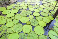 Victoria Regia (the largest water lily in the world) in Amazon, Brazil.  Stock Photography