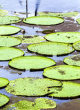 Victoria Regia (the largest water lily in the world) in Amazon, Brazil Stock Photography