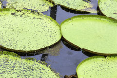 Victoria Regia (the largest water lily in the world) in Amazon, Brazil Royalty Free Stock Photos