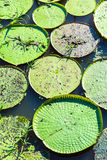 Victoria Regia (the largest water lily in the world) in Amazon, Brazil Royalty Free Stock Photography