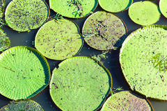 Victoria Regia (the largest water lily in the world) in Amazon, Brazil Stock Images