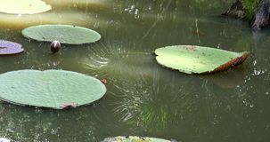 Victoria Regia (the largest water lily in the world) in Amazon, Brazil.  stock video