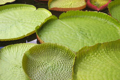Victoria Regia - the largest water lily in the world royalty free stock photos
