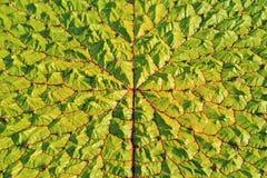 Victoria Regia leaf stock image