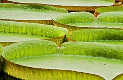 Victoria regia leaves Stock Photo