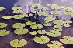 Victoria Regia, planta acuática de la región del Amazonas fotografía de archivo