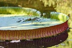 Victoria regia som svävar över sjövatten Royaltyfria Foton