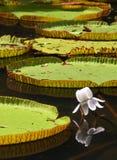 Victoria-regia (waterlelie) in botanische tuin royalty-vrije stock afbeelding