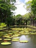 Victoria-regia (waterlelie) in botanische tuin Stock Afbeeldingen