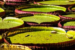 Victoria Regia, the world's largest leaves, of Amazonian water lilies Stock Image