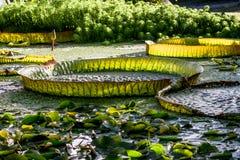 Victoria regia - Botanical Garden University of Bayreuth stock image