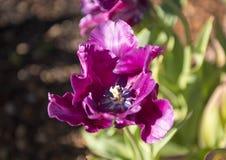 Victoria`s Secret Parrot Tulip, Dallas Arboretum Stock Images