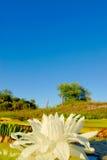 Victoria stawowy waterlily kwiat Zdjęcia Stock
